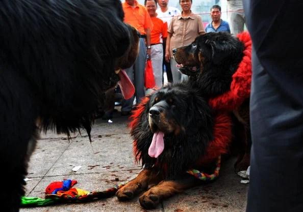 Tibetan Mastiff Show Held In Wuhan