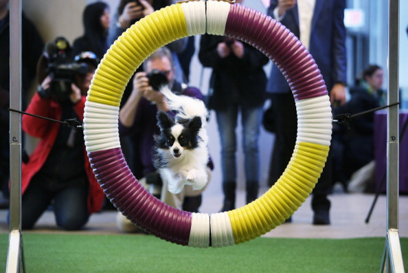 Westminster Kennel Club Hosts Masters Agility Championship