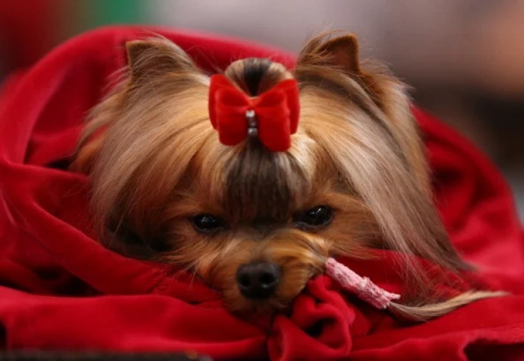 A Yorkshire Terrier waits to be judged