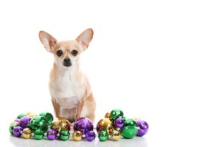 It's that time of year again. Mardi Gras! And today is officially Fat Tuesday so what better way to celebrate than a few solid pictures of our favorite Mardi Gras Dogs? Here's a Chihuhua that's ready for the party! All images via Thinkstock