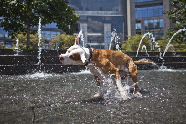Pit Bull cools off in water
