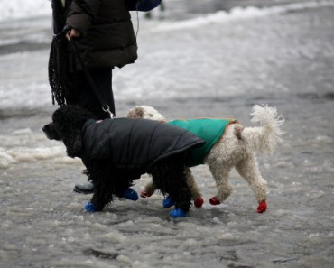 Two poodles going for walk