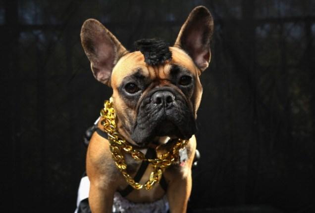 Boxer dog Mr. T