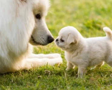 A Cute Gallery of Samoyed Dog Pictures