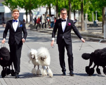 Poodles at the Hair and Beauty Fair in Germany