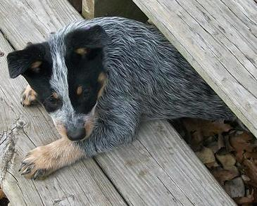 Five Things you Didn't Know about the Blue Heeler