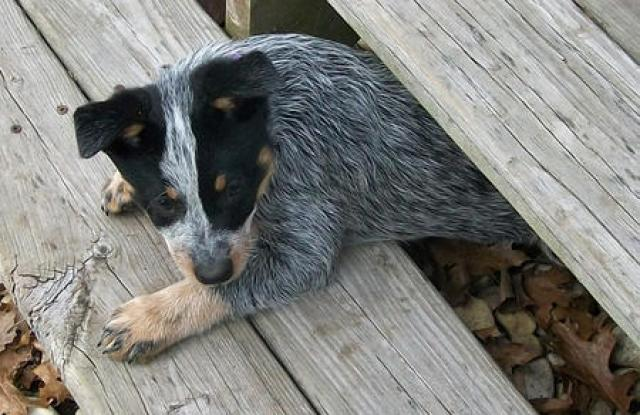 kiah-the-blue-heeler-4_56796_2012-05-13_w450