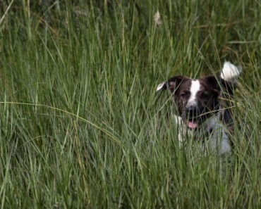 """An Answer to the Question, """"Why Do Dogs Eat Grass?"""""""