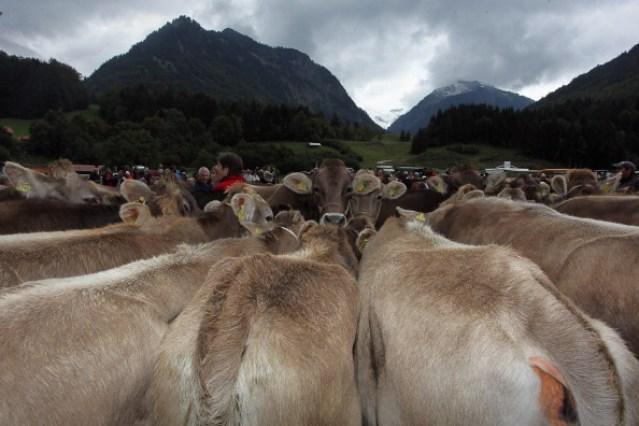 Herdsmen Return Cattle In Annual Alpine Descent