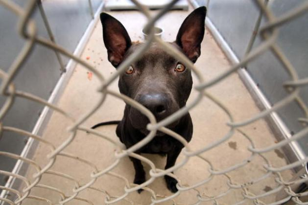 JERSEY CITY, NJ - JULY 24: A pit bull looks out from a cage in the Liberty Humane Society shelter July 24, 2007 in Jersey City, New Jersey. According to animal shelter statistics, around one-third of all dogs coming into shelters nationwide are pit bulls, up from just 2 to 3 percent fifteen years ago. An estimated 40,000 people are involved in illegal professional dogfighting in the U.S. which often involves pit bulls. (Photo by Mario Tama/Getty Images)