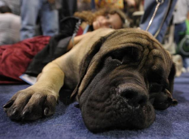 """American Kennel Club Hosts """"Meet The Breeds"""" Dog And Cat Show"""