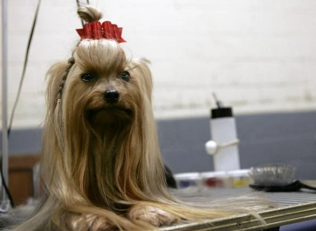 Prize Canines Vie For Glory At Westminster Dog Show