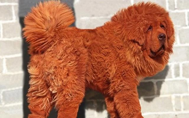Red Tibetan Mastiff