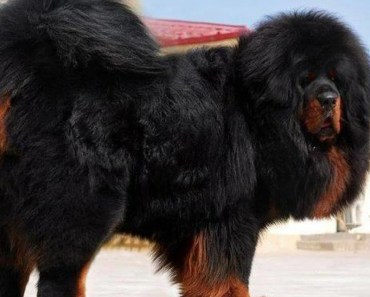 Tibetan Mastiff Dog Breed Information and Photos