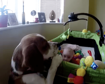 Dog Wants to Play With His Baby Sister