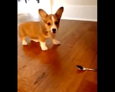 A Corgi Puppy Brave Enough to Take on the Scary Spoon!