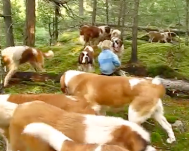 Out for a Walk with Our 42 Saint Bernards