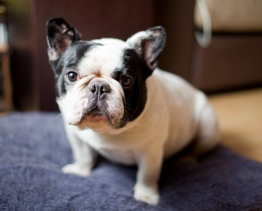 Consinder Getting Your Next Dog from a French Bulldog Rescue
