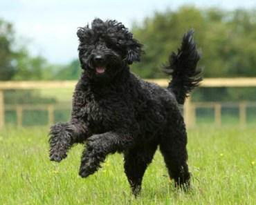 When to Take Your Labradoodle to the Vet