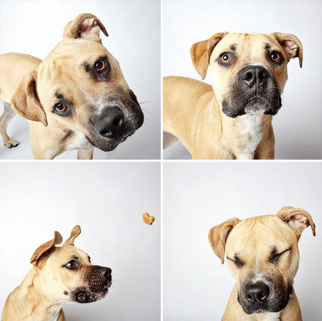 adopted-dog-teton-pitbull-humane-society-utah-26