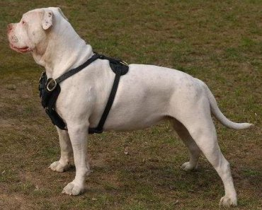 True and False Questions Answered about the American Bulldog