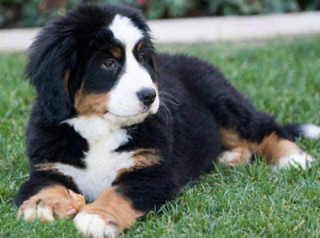 berenese mountain dog