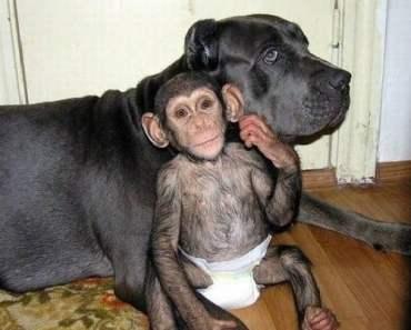 chimp-dog
