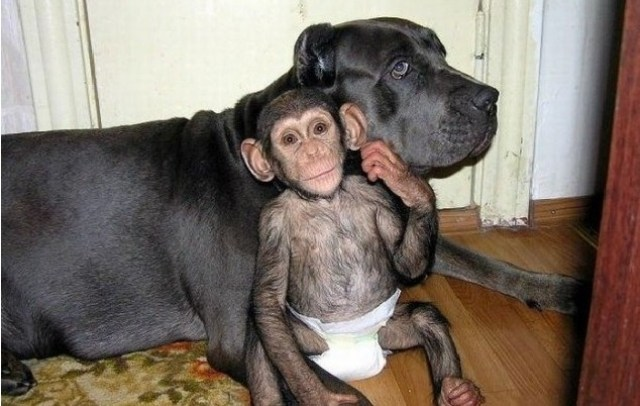 chimp-dog