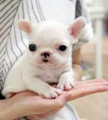 The Teacup French Bulldog: Super Cute and Very Lovable