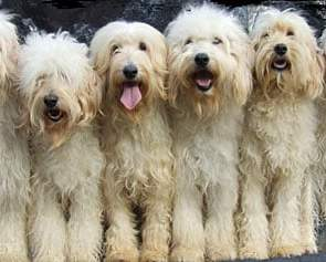 Goldendoodle vs. Labradoodle: It's Truly All About Preference