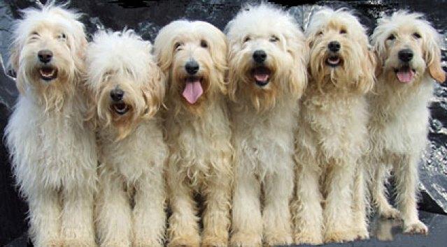 generations-of-goldendoodles