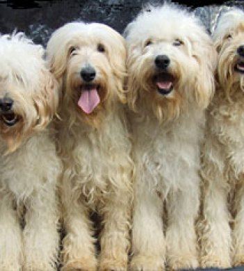 Goldendoodle Vs Labradoodle Its Truly All About