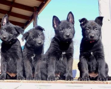Everything You Need to Know about Buying or Adopting a Black German Shepherd