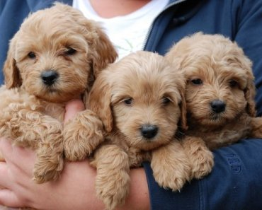 Adorable Labradoodle Puppies Taking Their First Swim Caught on Camera