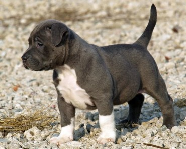 Helpful Tips for Socializing and Training Your Pitbull Puppy