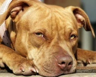Tough Questions that Must Be Asked when Adopting a Grown Red Nose Pitbull