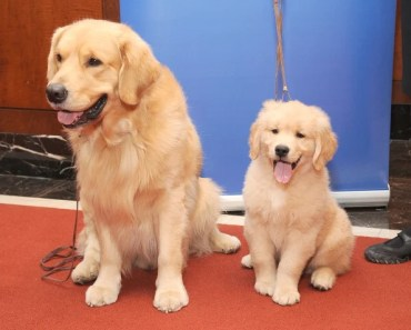 Five Reasons Your Golden Retriever is Mad at You