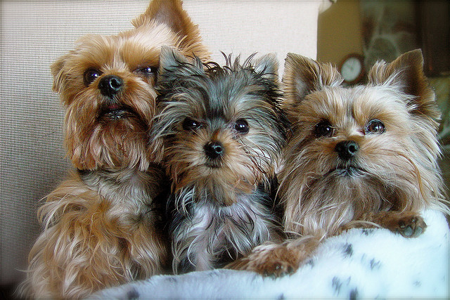 Three Very Attractive Yorkie Haircuts Gt Puppy Toob