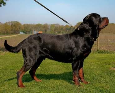 German Rottweiler
