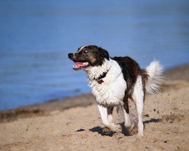 Common Behavioral Changes in Border Collie's as They Age