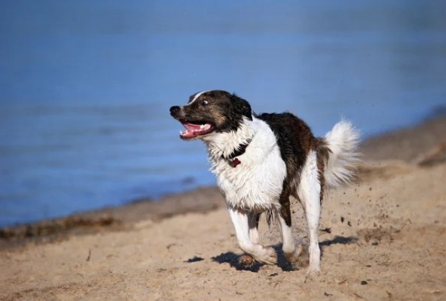 Border Collie at Play