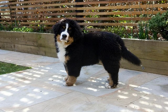 Bernese Mountain Dog Puppies Are Adorable But They Do Grow