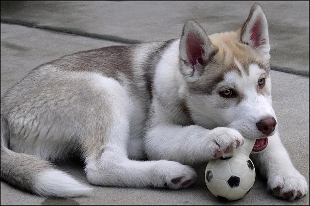 Very Cute Puppy Wallpapers Siberian Husky Puppies Are One Of The Fastest Learning Dog