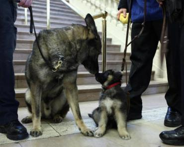 More about The German Shepherd Who Sacrificed His Life for his Family