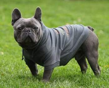 Why French Bulldogs Are Not Christmas Presents