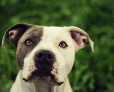 Tips on Raising Pitbulls and Other Animals in the Same Home