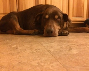 The Doberman Pitbull Mix: A Highly Capable Working Dog