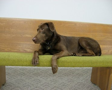 Weimaraner Lab Mix: One of The Best Family Dog Hybrids