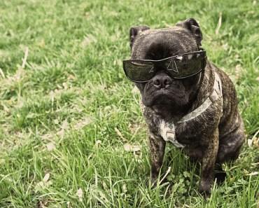 Boston Terrier Pug Mix