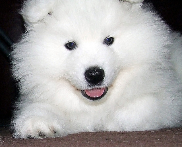 Very Cute Baby Hd Wallpaper The Siberian Samoyed One Of The Most Beautiful Working